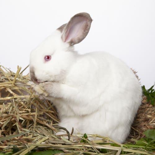 Ziggy - Himalayan Dwarf Rabbit