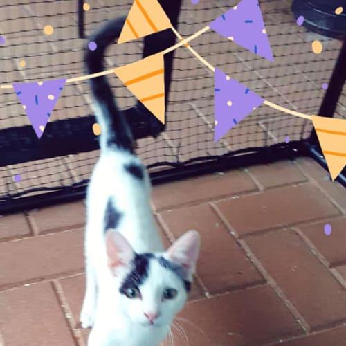 Teej - Domestic Short Hair Cat