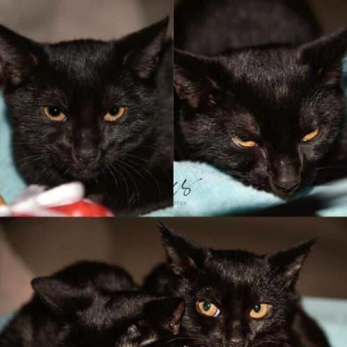 2214/2215 - Jasper & Blossom - Domestic Short Hair Cat