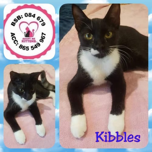 Kibbles - Domestic Short Hair Cat