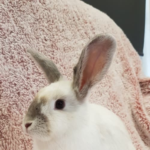 Pearl  - Domestic Rabbit