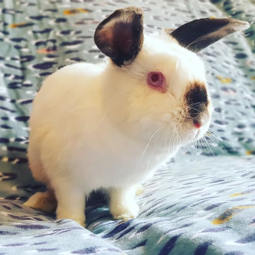 Ruby  - Domestic Rabbit