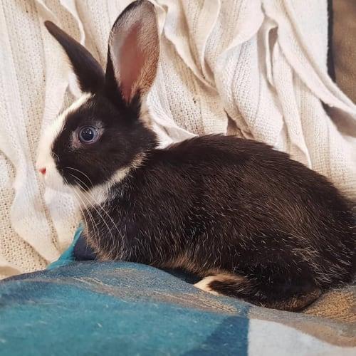 Preston  - Dutch Rabbit