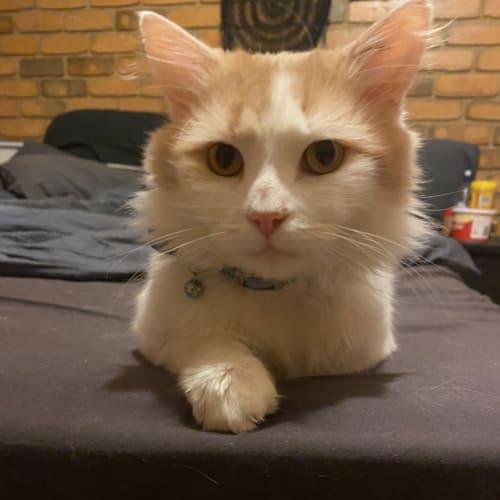 Baker - Domestic Medium Hair Cat