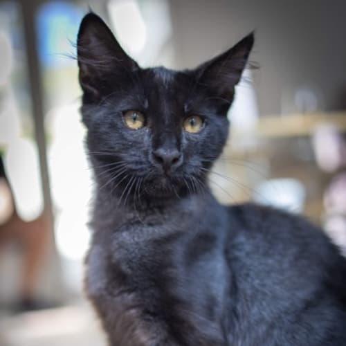 Toby ❤ - Siamese Cat