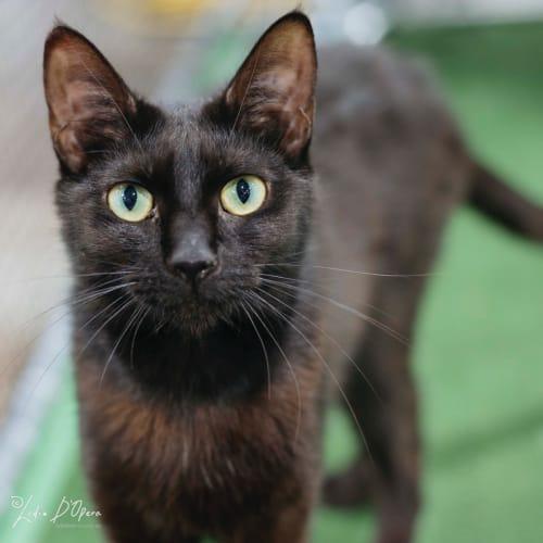 Cecily - Domestic Short Hair Cat