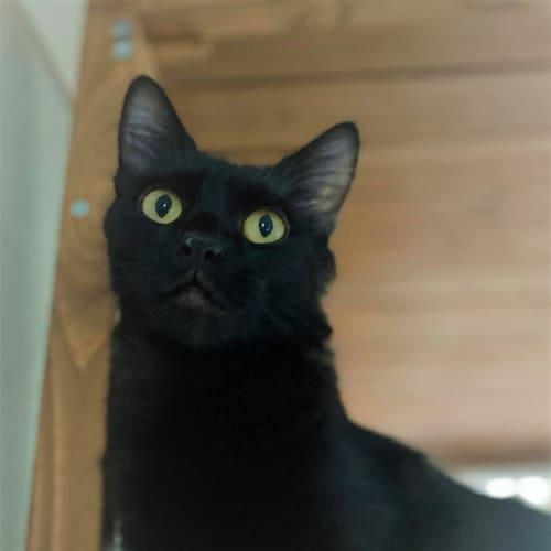 Ms. Fluffington - Domestic Long Hair Cat