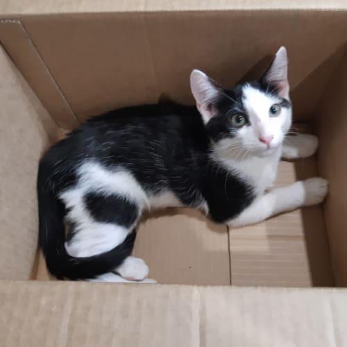 Mouse - Domestic Short Hair Cat