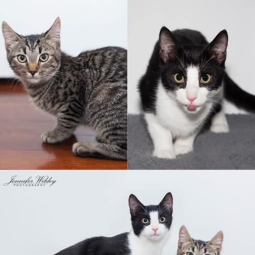 2416/2415- Pancake & Waffles - Domestic Short Hair Cat