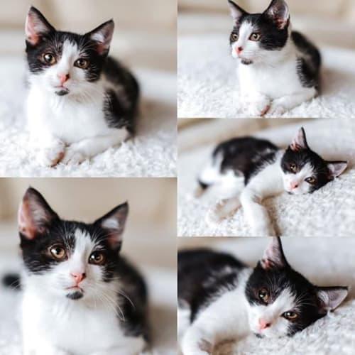 2514 - Pesci - Domestic Short Hair Cat