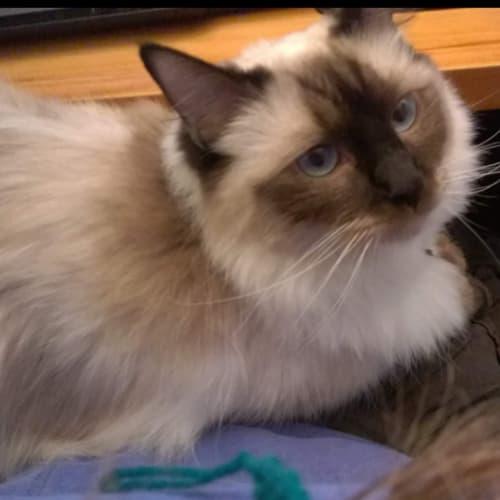 Toby - Ragdoll Cat