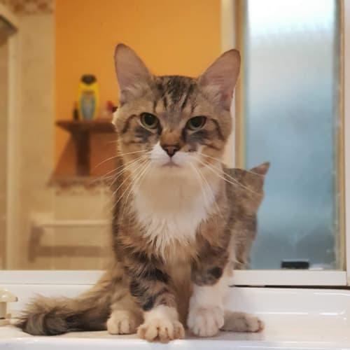 Fabio - Domestic Medium Hair Cat