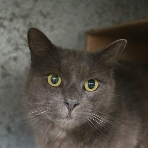 Ralphie  - Domestic Medium Hair Cat