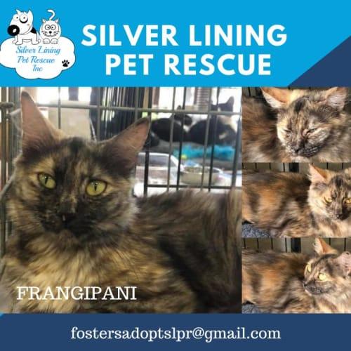 Frangipani - Domestic Medium Hair Cat