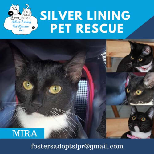 Mira - Domestic Short Hair Cat