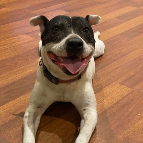 Jess  ** On Trial ** - Staffordshire Bull Terrier Dog