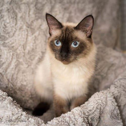 Ariellah - Manx x Burmese Cat