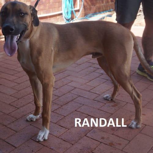 Randall - Greyhound Dog