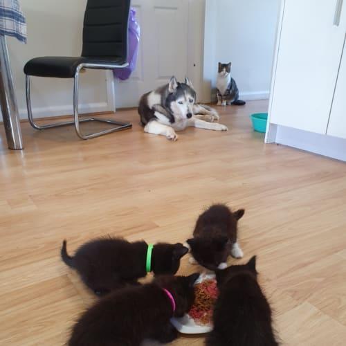 Pinkie, Gus, Dexter & Bobby - Domestic Long Hair Cat