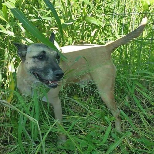 Nitro - Cross breed Dog