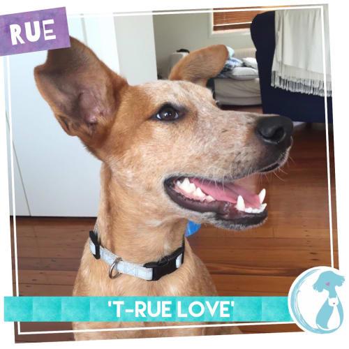 Rue - Cattle Dog