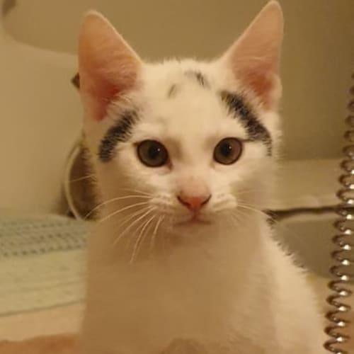 Diamond - Domestic Short Hair Cat