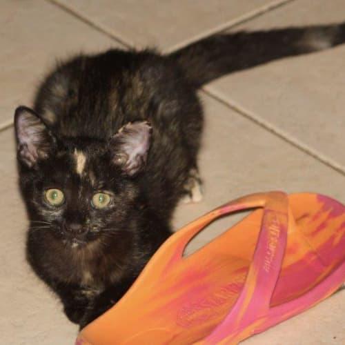 Danah - Domestic Short Hair Cat