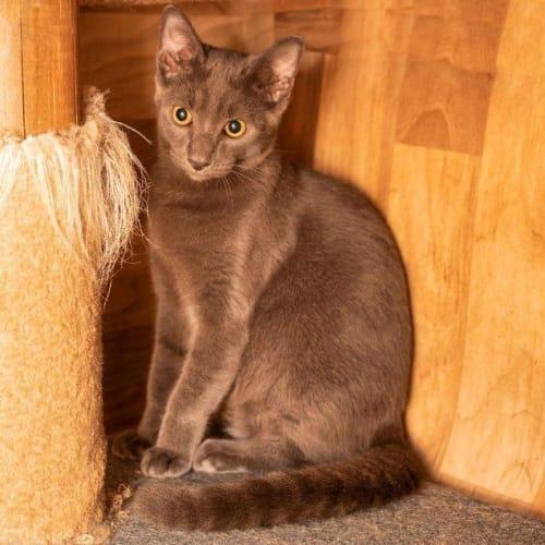 Eli - Domestic Short Hair Cat