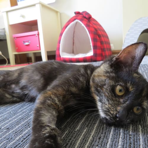 Rosie - Applications Closed - Domestic Short Hair Cat