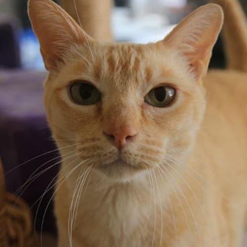 Oscar De La Redcat - Burmese Cat