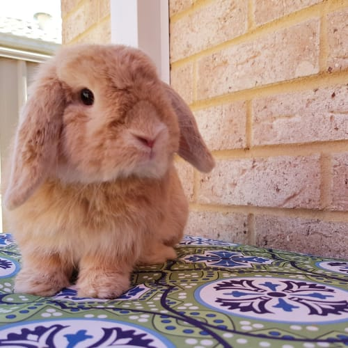 Cody *On Trial* - Mini Lop Rabbit