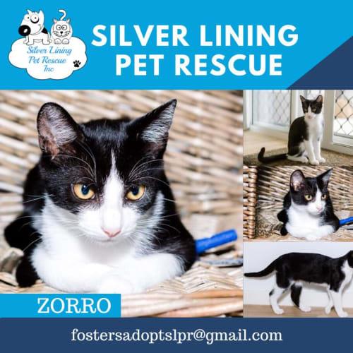 Zorro - Domestic Short Hair Cat
