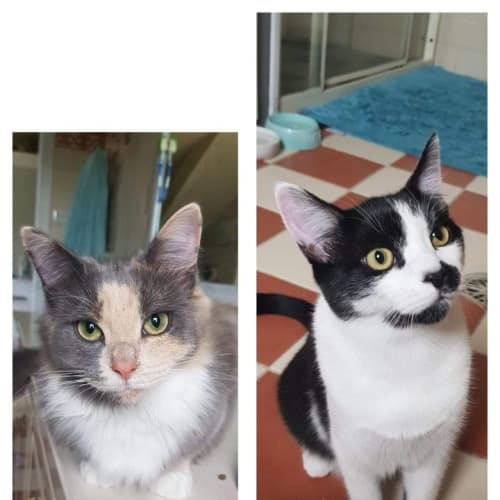 Blossom and Cleo  - Ragdoll x Domestic Short Hair Cat