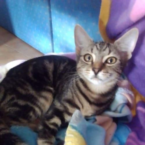 Iridessa - Domestic Short Hair Cat