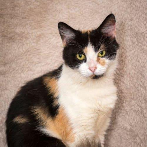Kahula - Domestic Medium Hair Cat