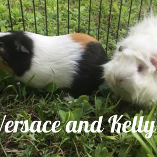 Versace (desexed male) and Kelly - Abyssinian x Smooth Hair Guinea Pig