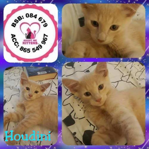 Houdini - Domestic Medium Hair Cat