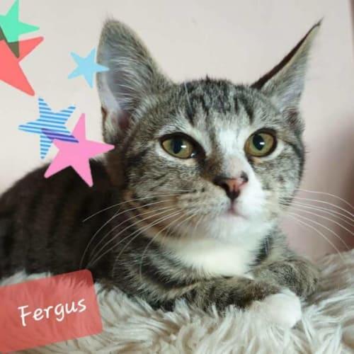 Fergielicious Fergus - Domestic Short Hair Cat