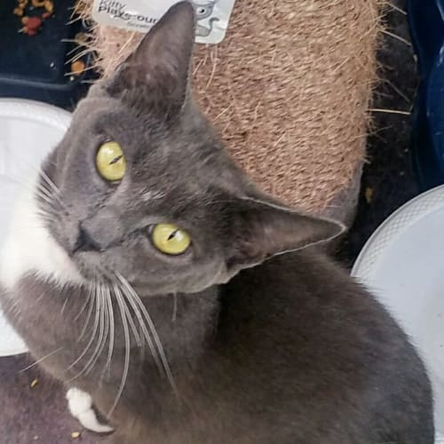 Adrina - Domestic Short Hair Cat