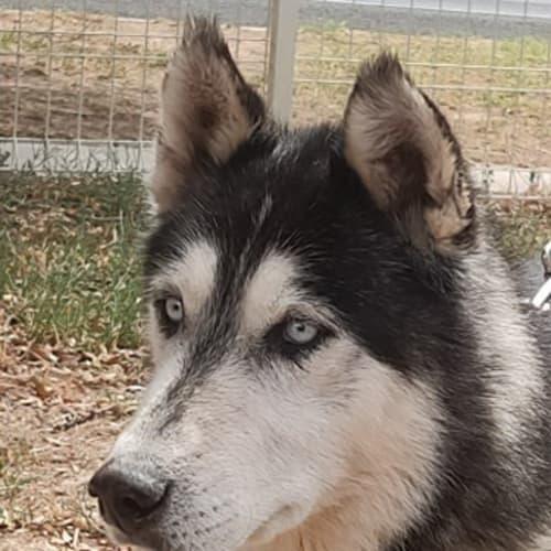 Jakey - Siberian Husky Dog