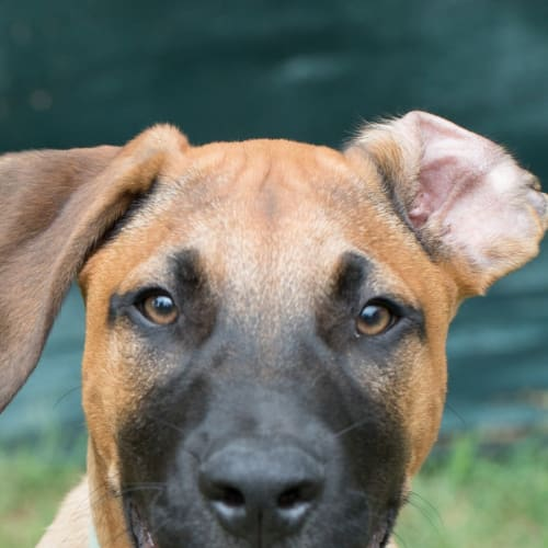 Leandro - Bull Arab Dog