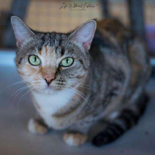 Jovi - Domestic Short Hair Cat