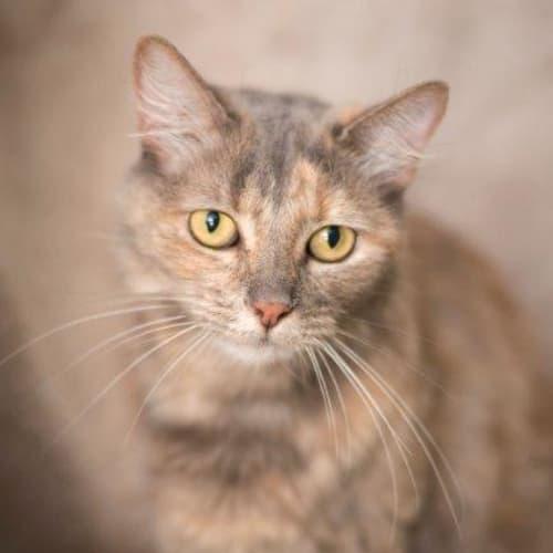 Eloise - Domestic Medium Hair Cat