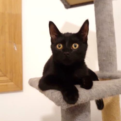 Elvira - Domestic Short Hair Cat