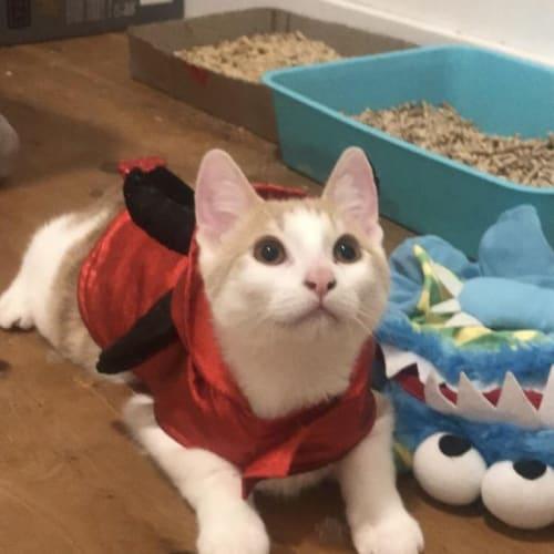 Sparky - Domestic Short Hair Cat
