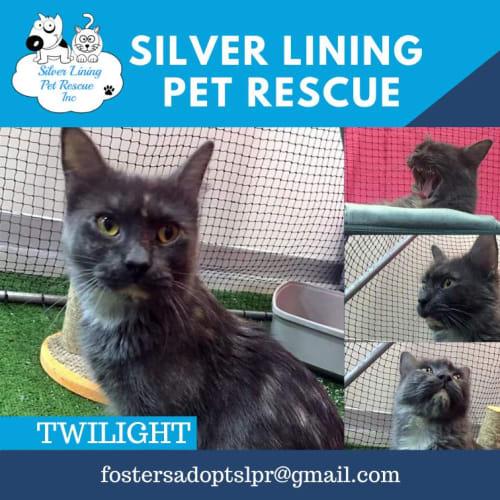 Twilight - Domestic Medium Hair Cat
