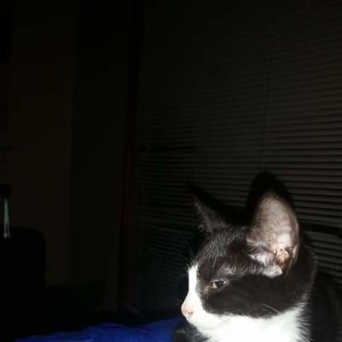 Kiko - Domestic Short Hair Cat