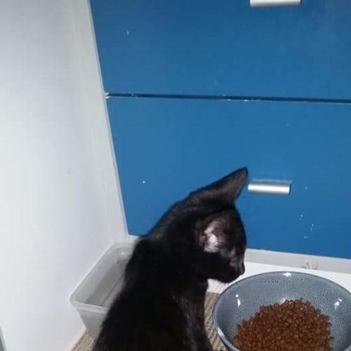 Tika - Domestic Short Hair Cat