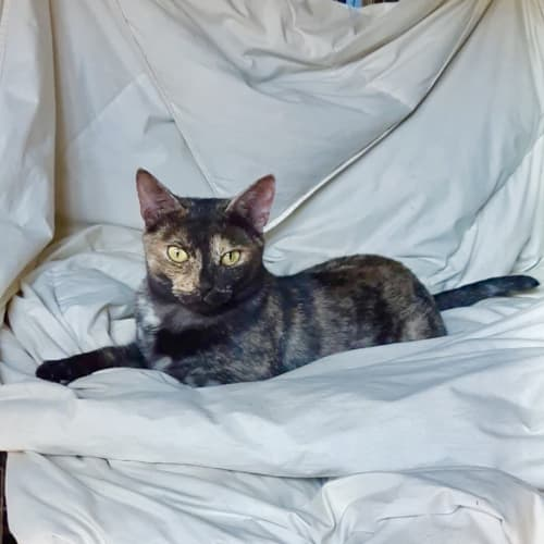 Eliza - Domestic Short Hair Cat