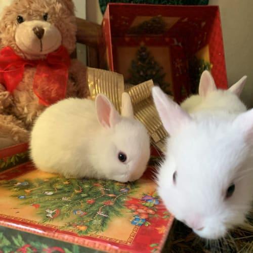 Rhapsody   - Dwarf Rabbit